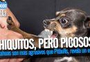 Chihuahuas son mas agresivos que Pitbulls, revela un estudio